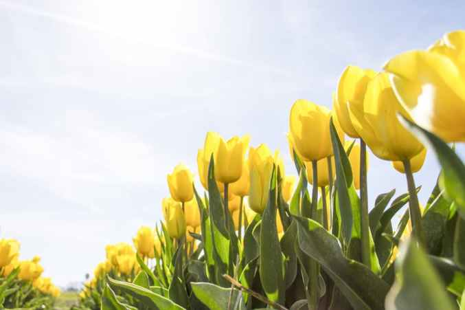 tulips-netherlands-flowers-bloom-159406